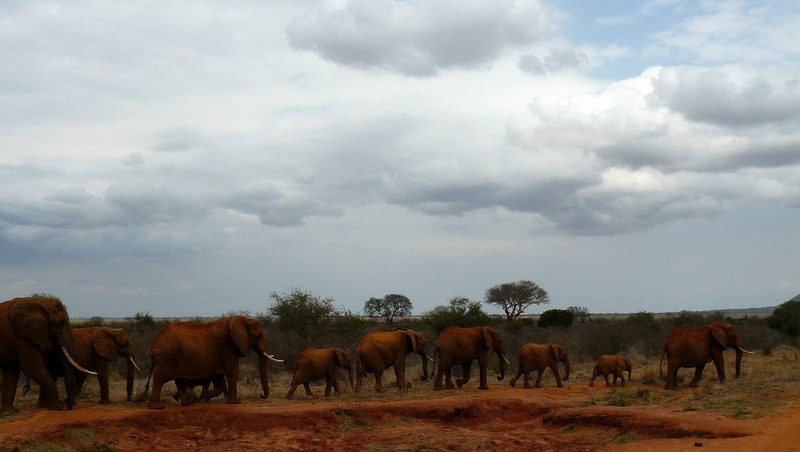 Elephant Train Tsavo East.jpg