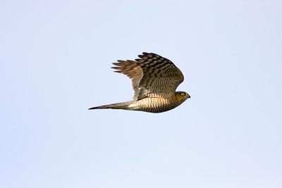 Hökar – Hawks