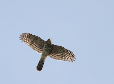 Rockfish Gap Hawk Watch