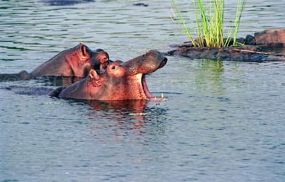 HIPPOS AT KRUGER PARK