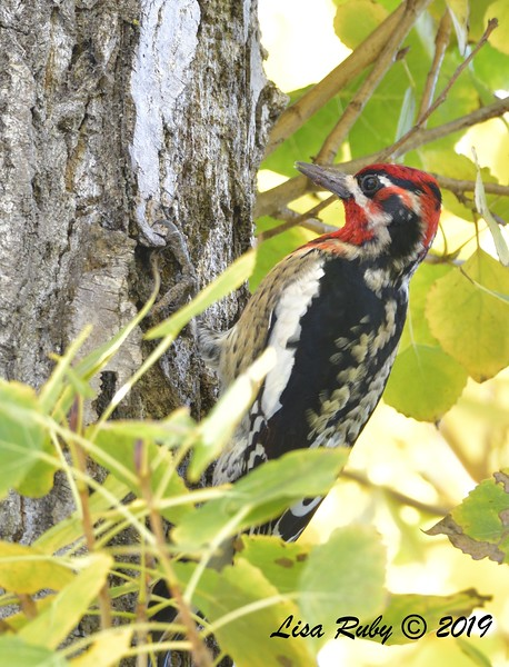 Red-naped x Red-breasted Sapsucker 12/6/2019 - Santee Lakes