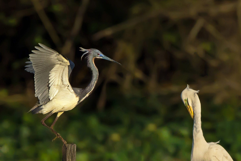 The Tricolored Heron then made an ill-advised landing on the Great Egret platform at Avery Island's Bird City.  Shortly thereafter, the Great Egrets chased him off.
