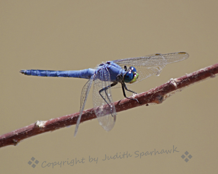 Western Pondhawk ~ Did some dragonfly-shooting at a wetlands area near Salton Sea.  This was the first Western Pondhawk I have seen and photographed.