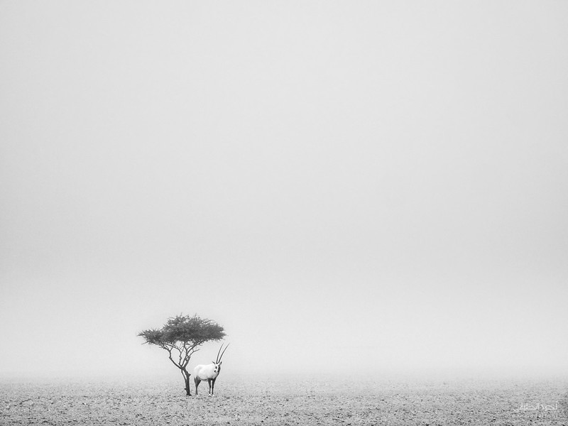 Arabian Oryx (33).jpg