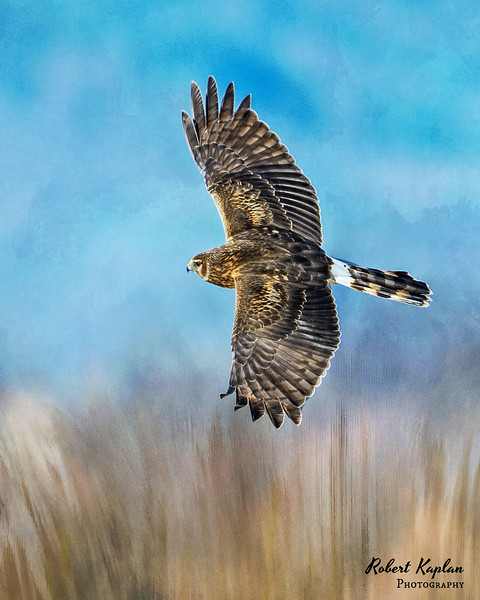 Northern Harrier Inthefield DT-7381.jpg