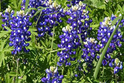 Texas Wildflowers - 2012