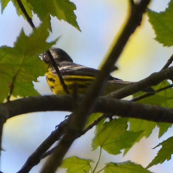 Magnolia Warbler (?)