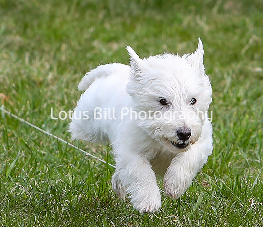 West Highland Terrier 3 DH