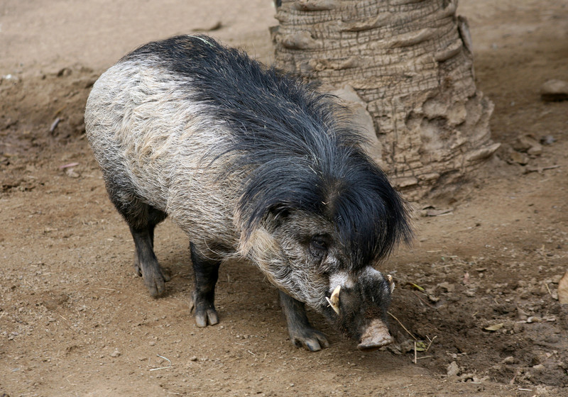 VISAYAN WARTY PIG - PHILIPPINES