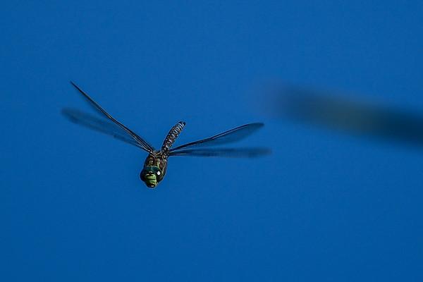 7-1-16 *^Lake Darner (Dragonfly)