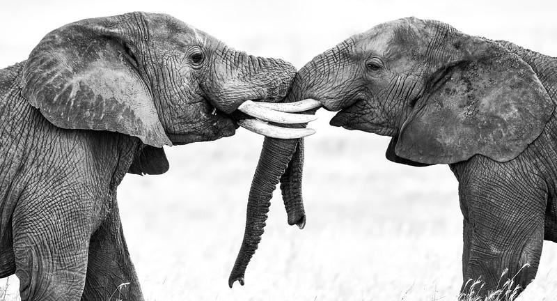 Elephant-tussle-serengeti-1.jpg