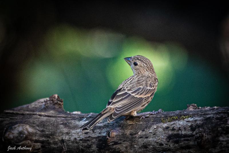 House Finch - Female