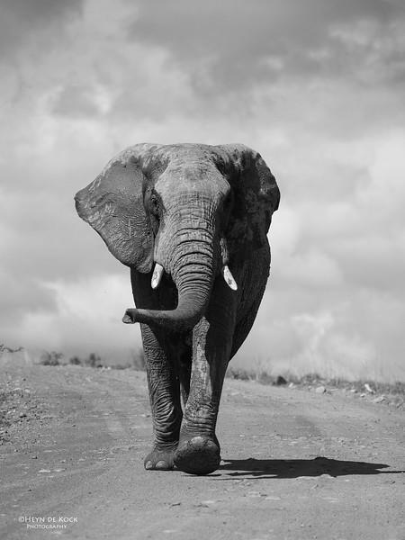 African Elephant, Pilansberg National Park, SA, Dec 2013-5 b&w.jpg