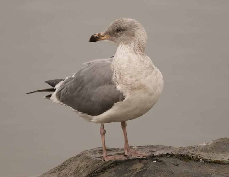 Northern Western Gull  Oceanside 2017-01 02-1.CR2