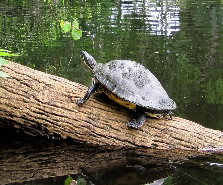 Loxahatchee River turtle