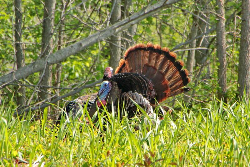 Wilde Turkey