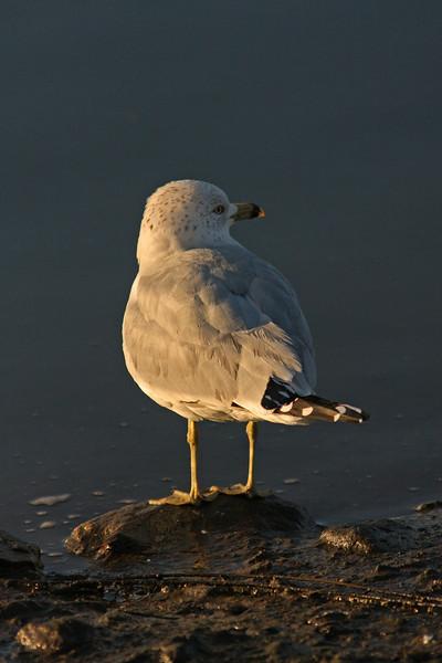WB~Ring-Billed Gull Portrait~Carol Etchebarren.jpg