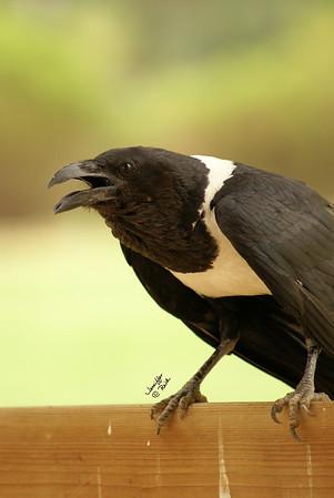 Crows, Ravens