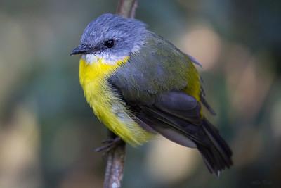 Birds - Aves