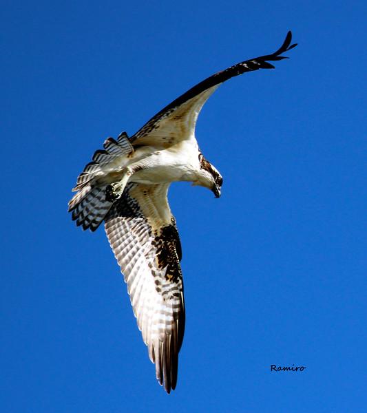 Osprey 10-16-15 Brauning Lake 1513.jpg