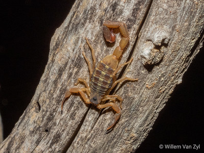 Striped Bark Scorpion (Uroplectes vittatus)