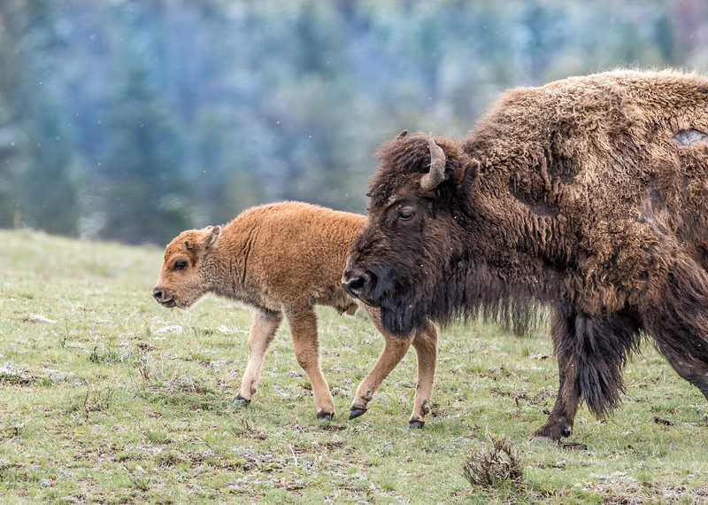 Bison and calf red dog Yellowstone National Park WY DSC05033.jpg