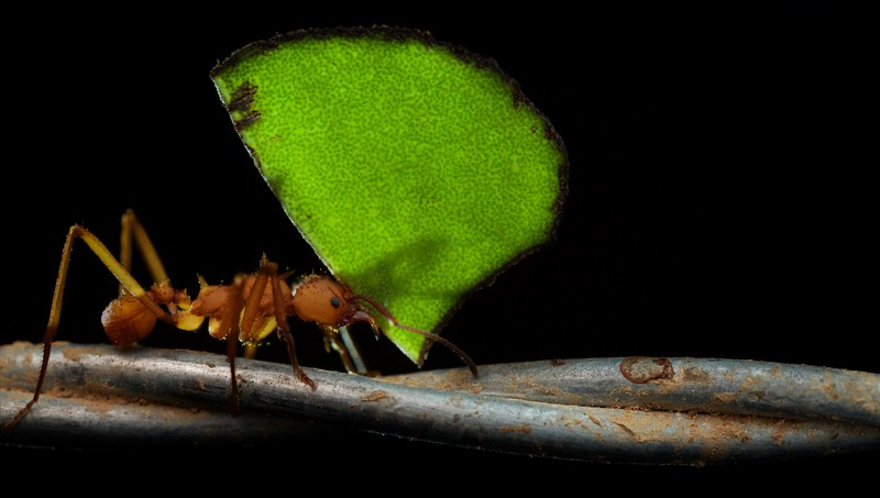 Leafcutter ants (Acromyrmex sp.)