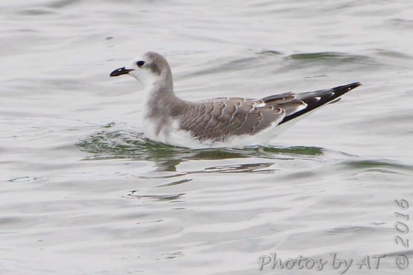 2016-09-13 Sabine's Gull at Longview Lake
