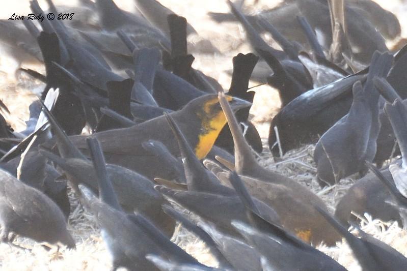 Yellow-headed Blackbird, Brown-headed Cowbirds, Tricolored Blackbirds  - 1/7/2018 - Rangeland Road, Ramona