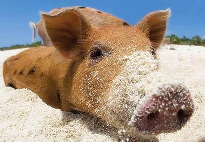 sand pig.jpg
