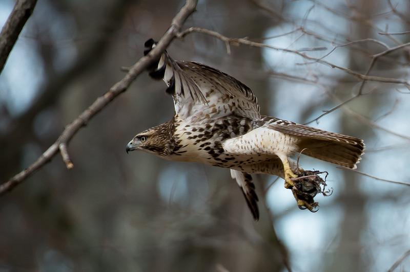 Hawk-49281.jpg