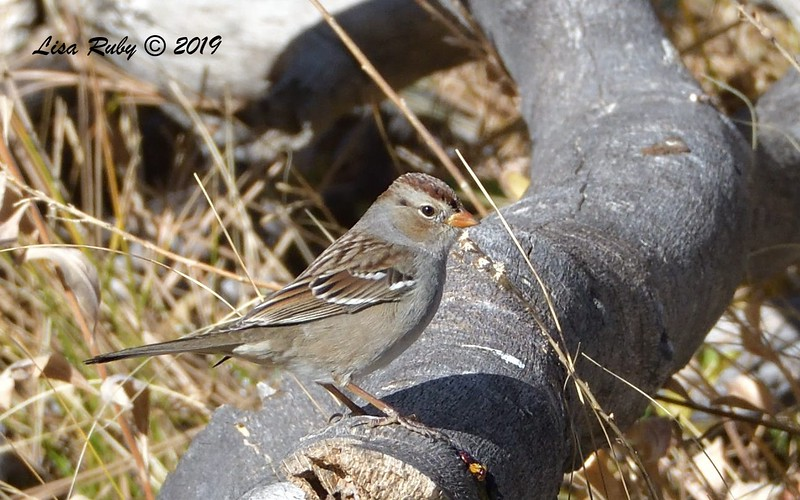 White-crowned Sparrow 11/16/2019 - Mt Laguna, Water Trough West Meadow
