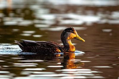 2020-06 Birds at Virginia Lake