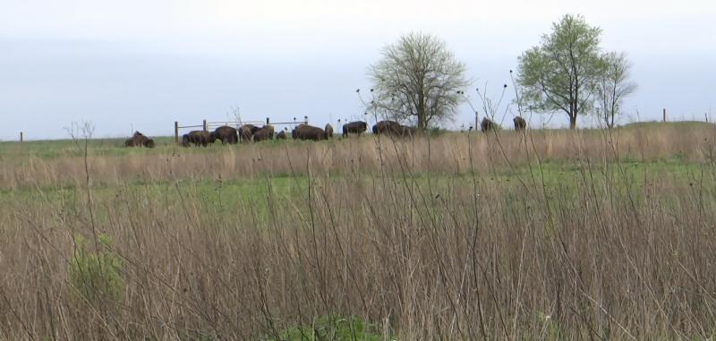 buffalo1.jpg