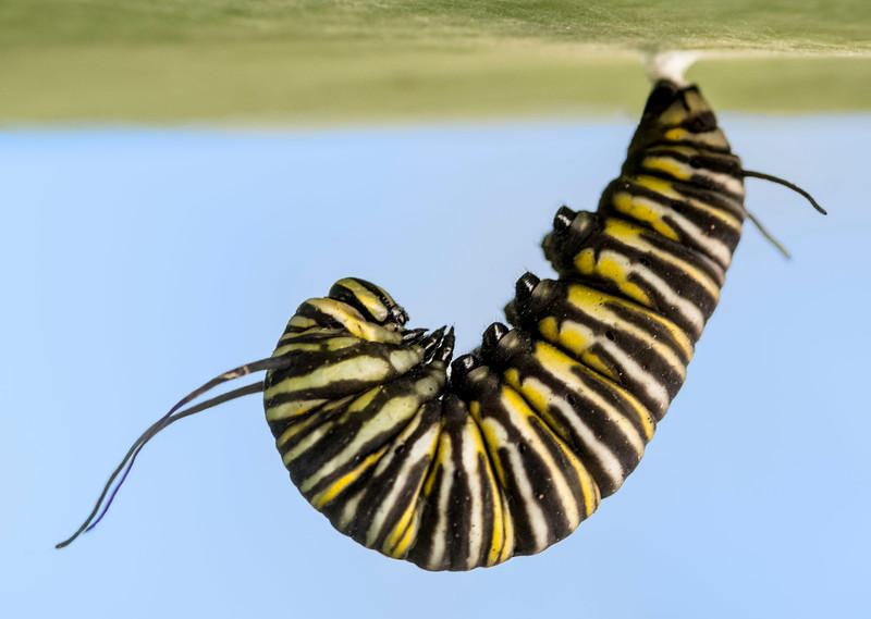 Monarch Caterpillar-3.jpg