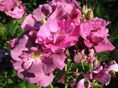 Portland Rose Garden June 2007