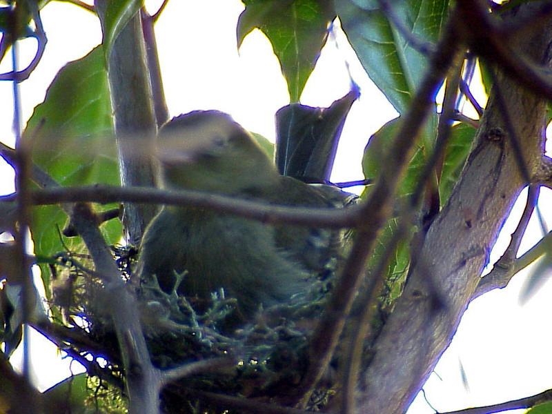 Mountain Elaenia building a nest at Savegre Mountain Lodge Costa Rica 2-14-03 (50898187)
