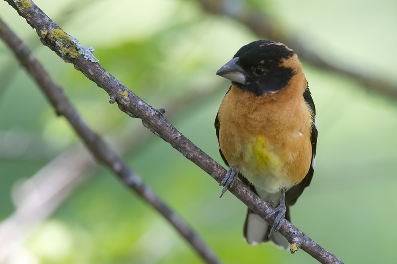Black Headed Grosbeak - Male - San Jose, CA, USA