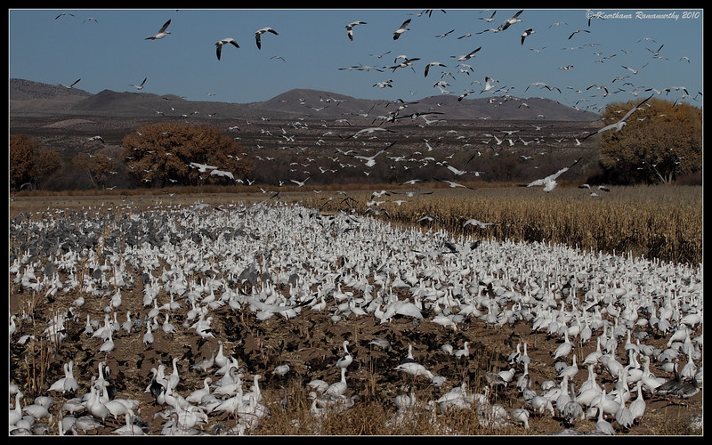 Flock of Snow Geese, Bosque Del Apache, Socorro, New Mexico, November 2010