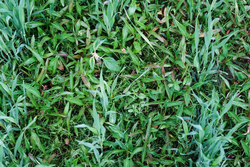 Hønsegras (Persicaria sp)