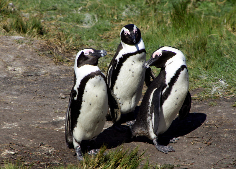 AFRICAN PENGUINS - BETTY'S BAY, SOUTH AFRICA