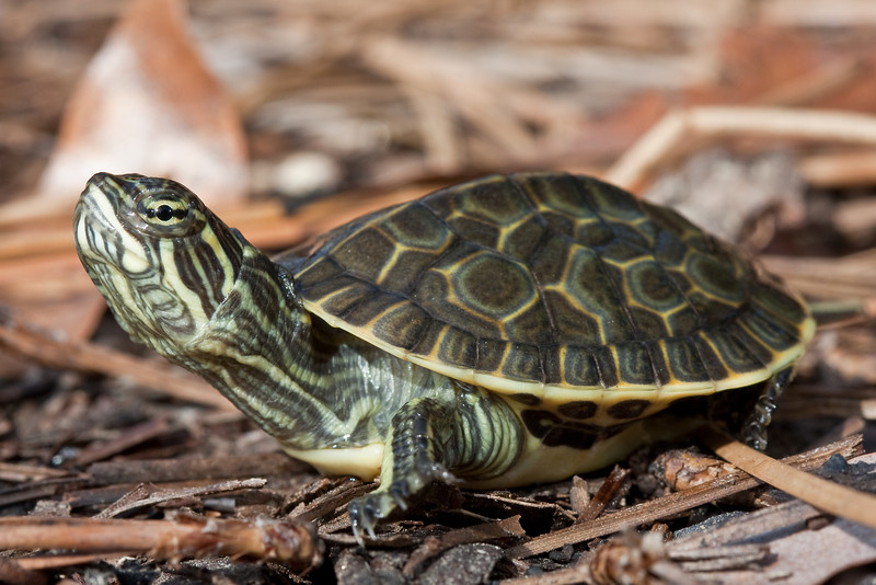Young chicken turtle.