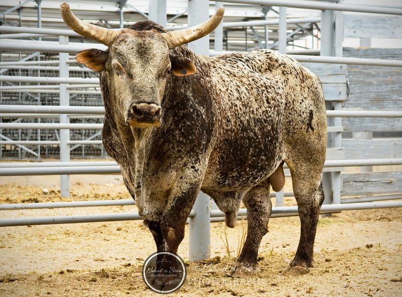 bull comp d.jpg