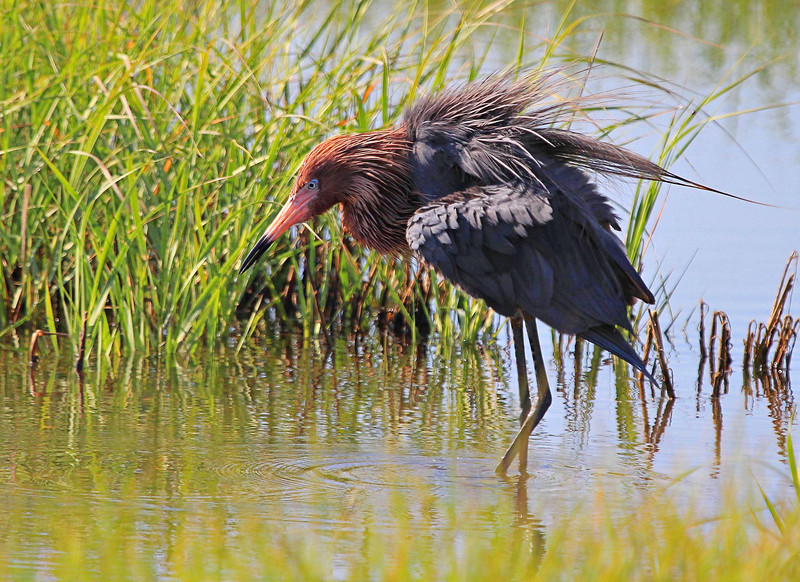 Our target bird for the day was a Reddish Egret. BINGO! There are only 2000 pairs in North America, so this was no guaranteed sighting by any stretch.