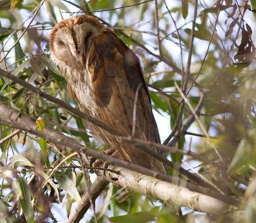 Barn Owls (Tytonidae)