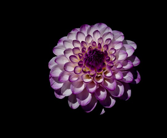 Purple-edged Dahlia