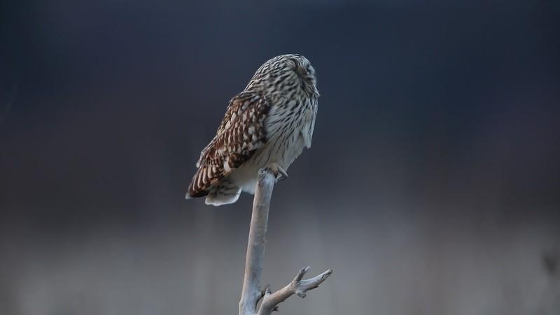 Short Eared Owl Clip