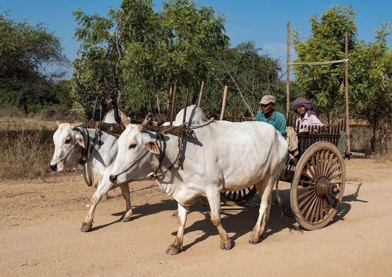 Bullock cart on a dirt road in Bagan, Burma - Myanmar