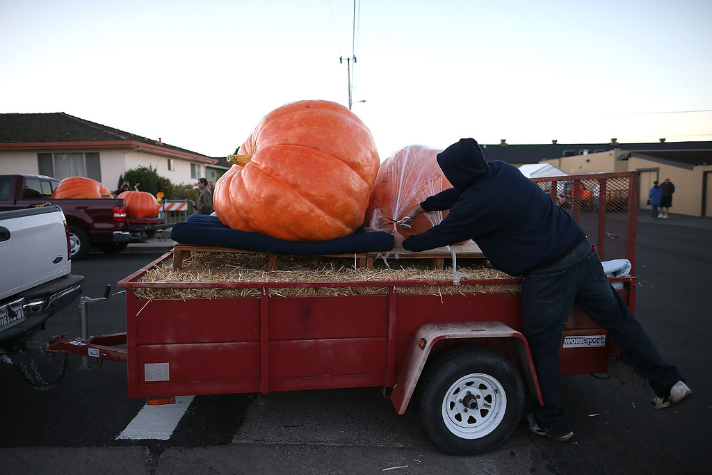 . A contestant uncovers giant pumpkins during the 40th Annual Safeway World Championship Pumpkin Weigh-Off on October 14, 2013 in Half Moon Bay, California.  (Photo by Justin Sullivan/Getty Images)