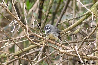Gray Fantail, Australia